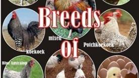 Poultry - Livestock / Poultry / Piggery - Farming - Zimbabwe