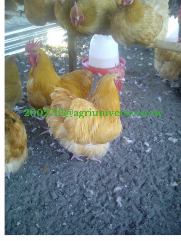 Roadrunner Pure & Mixed Breed CHICKS FOR SALE - Poultry